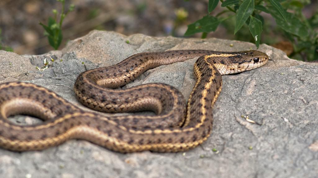 a-garter-snake-on-the-stone