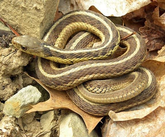 a-garter-snake