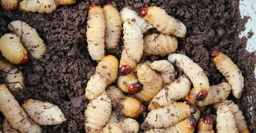 a lot grubs