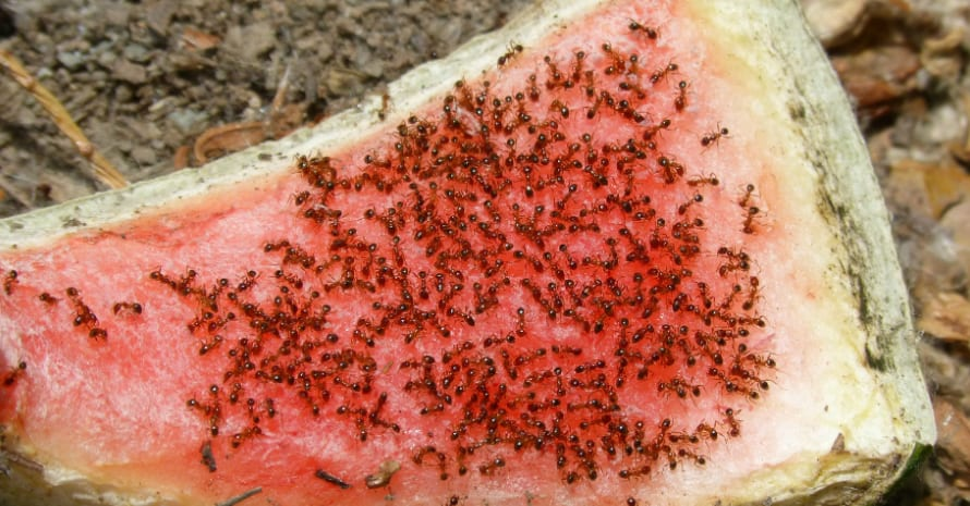 a lot of ants on the watermelon