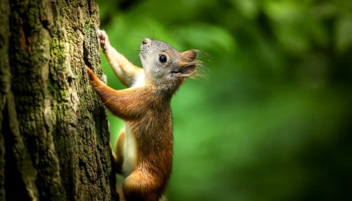a squirrel climbs a tree