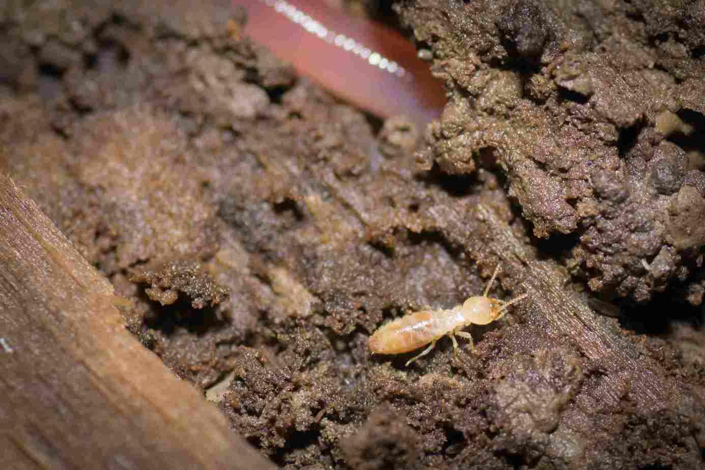 a-subterranean-termite