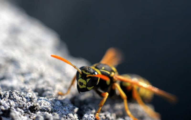 a-wasp-on-a-stone