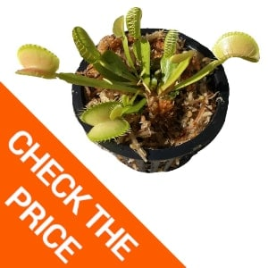 Adult Sized Venus Flytrap: Are the Best Fly Traps Natural?