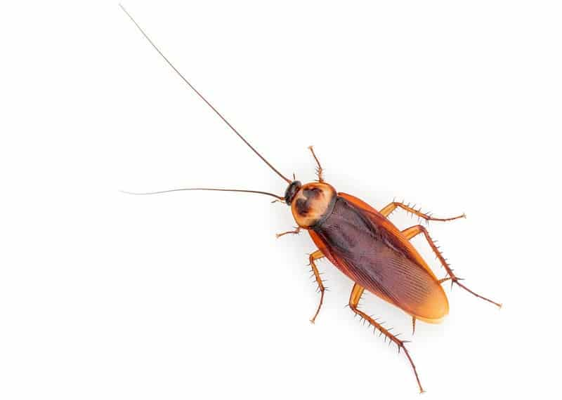 american roach, view from above, white background