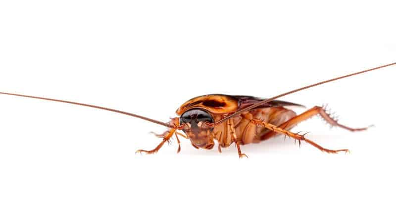 american cockroach, white background