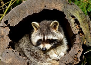 an elderly raccoon in a hollow tree