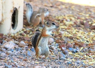 antelope ground squirrels in search for food