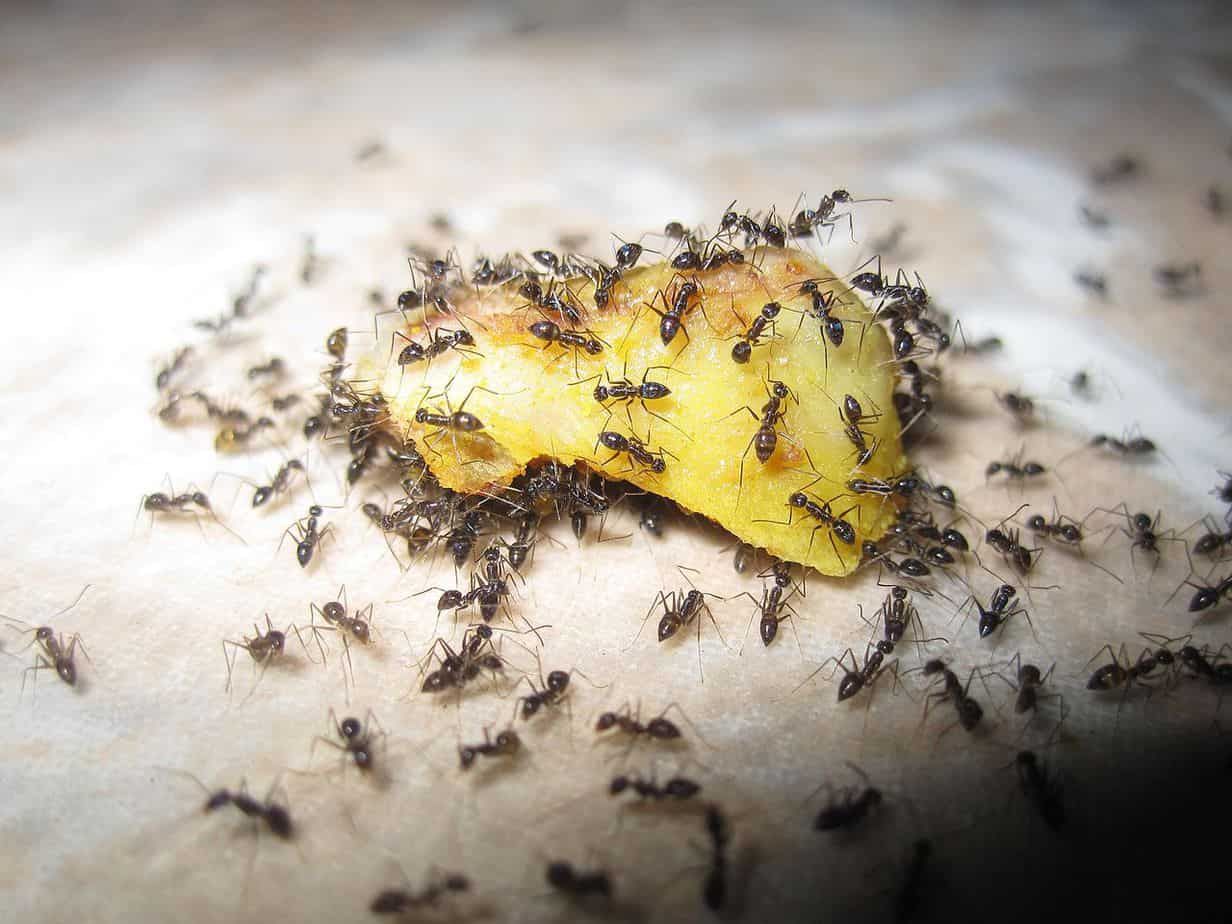 ants-eating-leftover-food