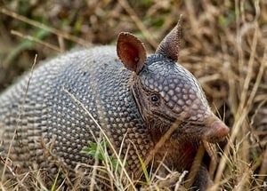 armadillo-among-grass