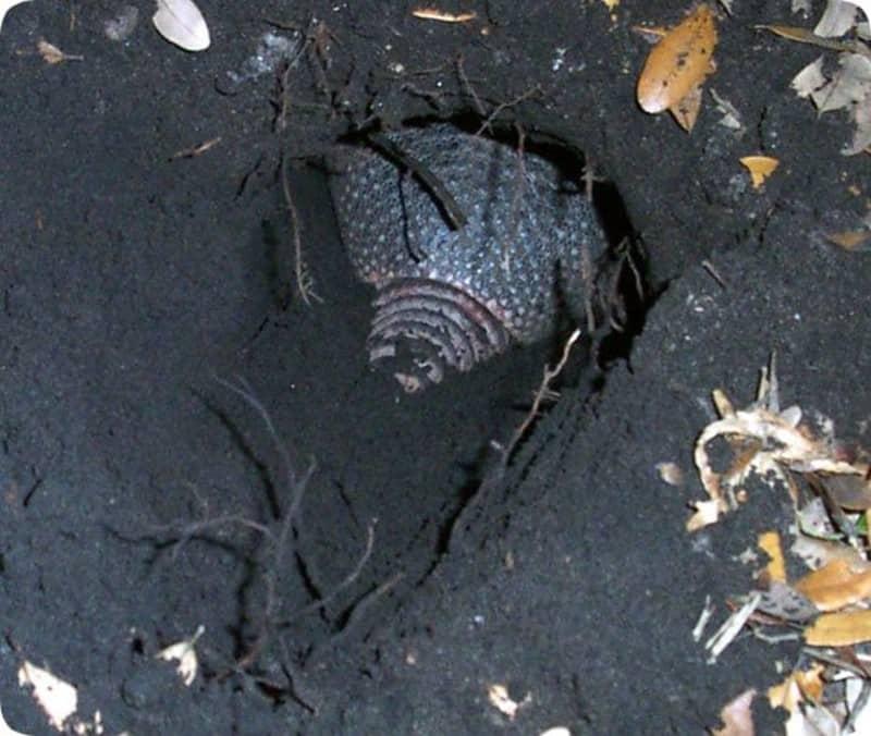 armadillo-burrow