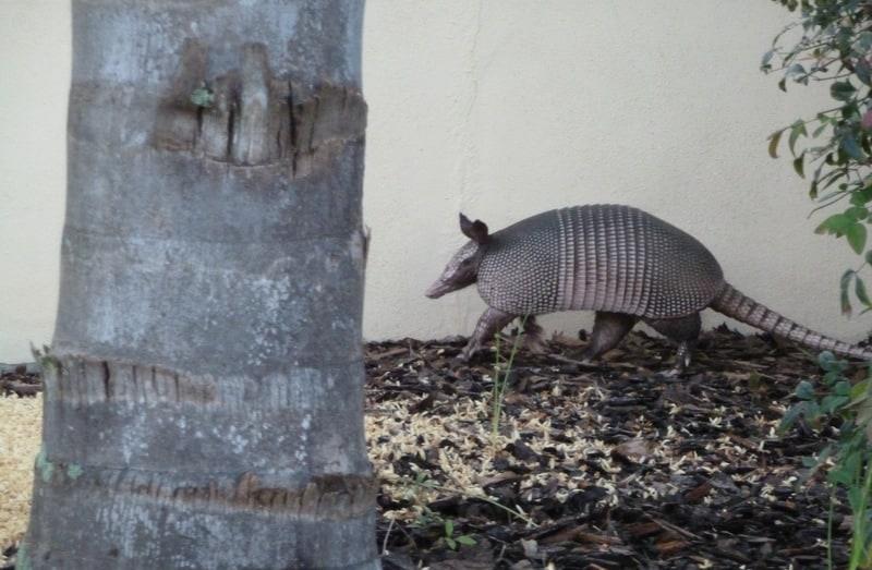 armadillo in a yard