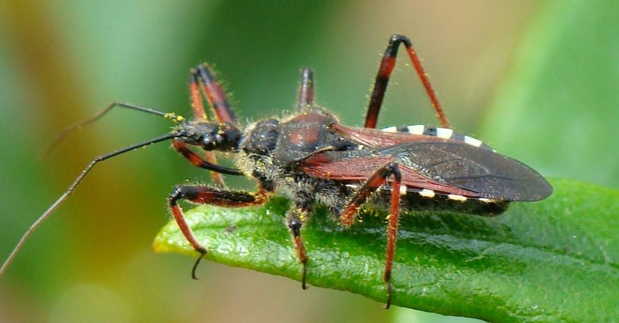 assassin bug in the Garden