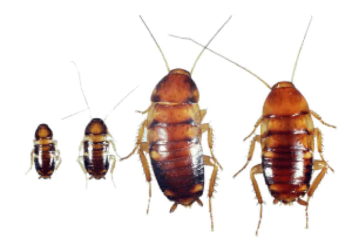 Baby Roaches Their Danger