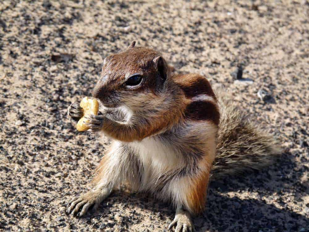 barbary-ground-squirrel