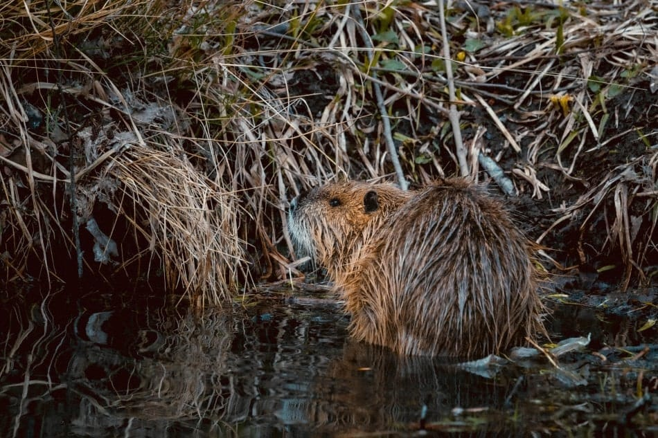 beaver in front of its dam