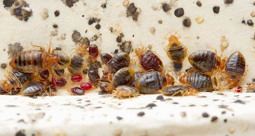bed bug poop and bugs