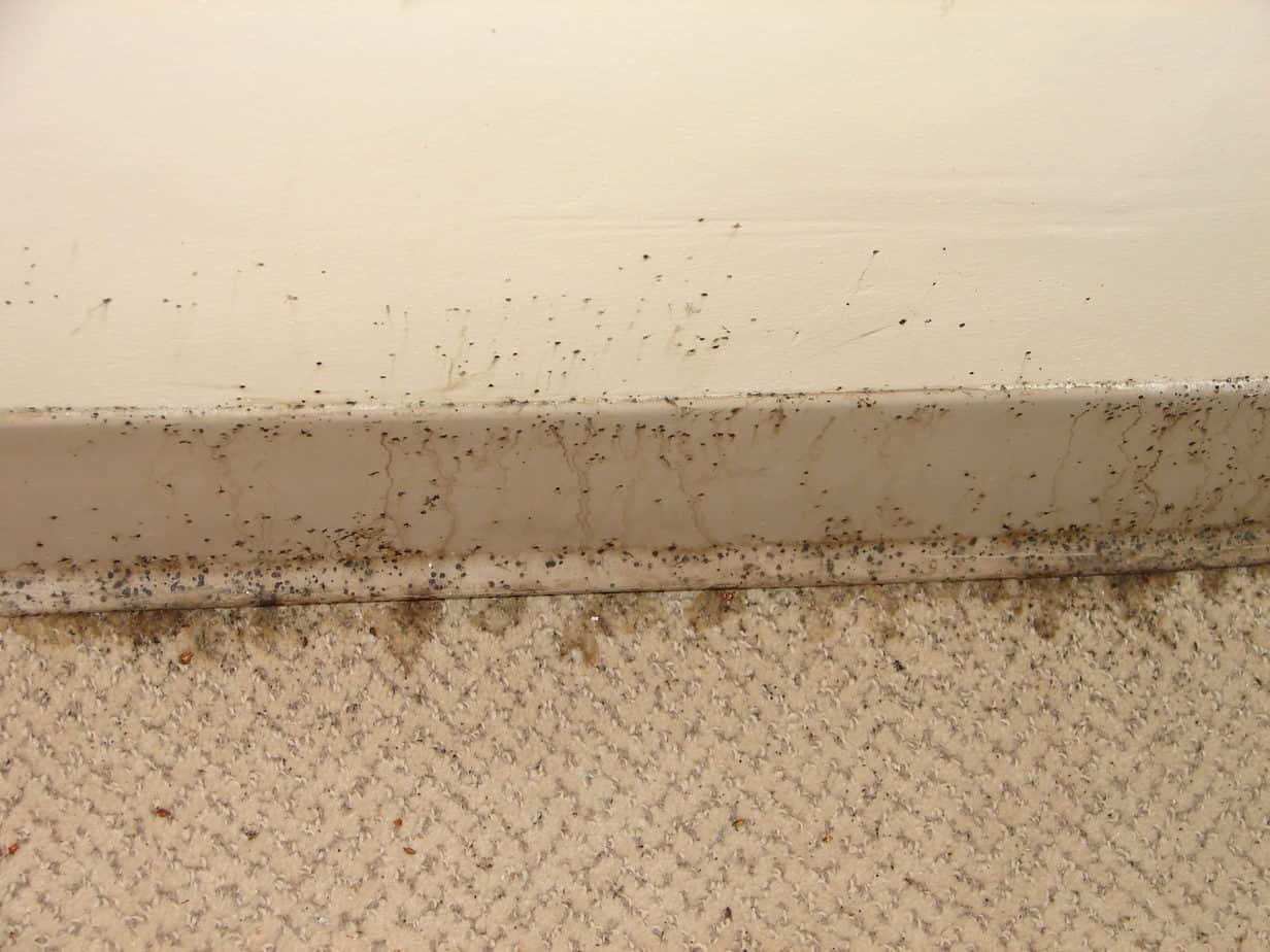 bed bug feces