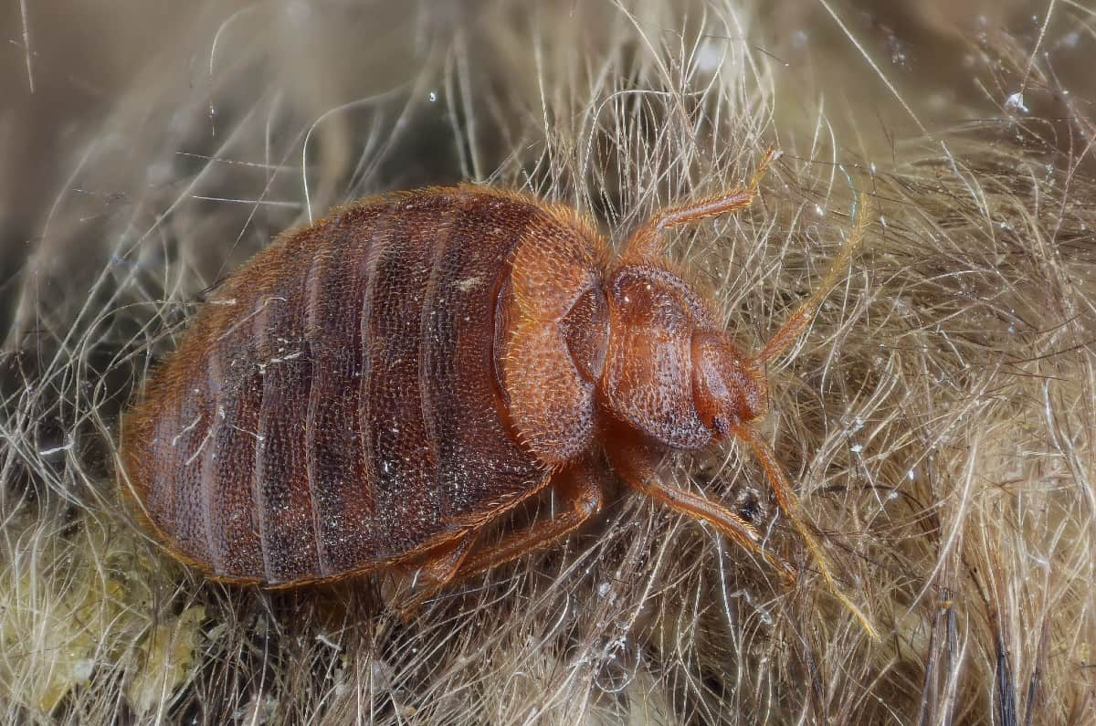 bed bug on hairy surface