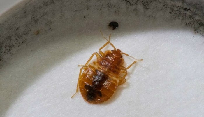 bed bugs in the sink