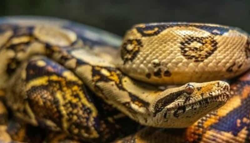 beige python