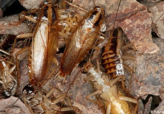 What Causes German Cockroaches?