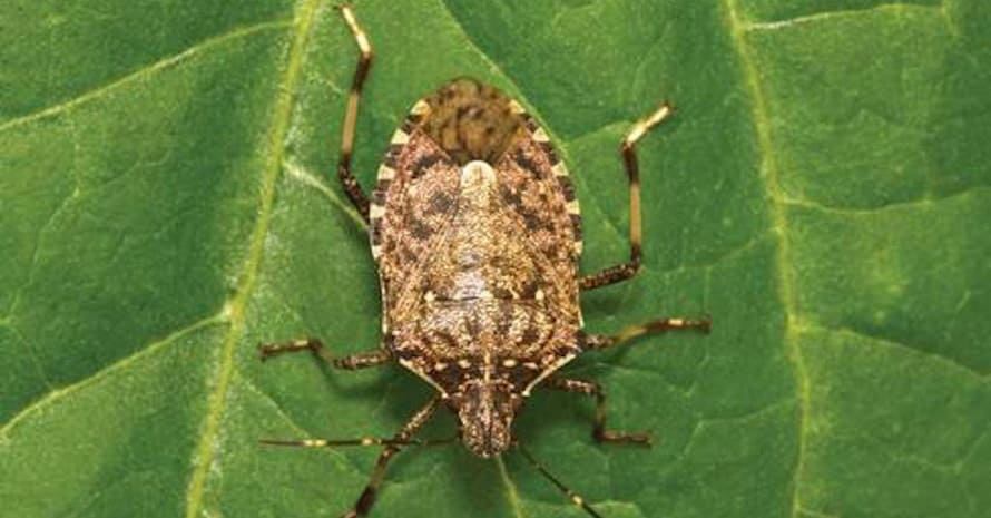 big Stink Bug