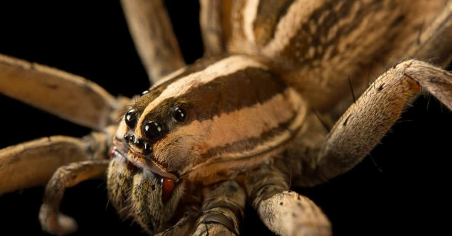 big Wolf Spiders