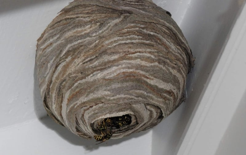 big-wasp-nest