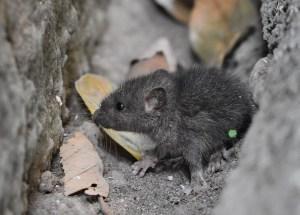 black mouse on concrete