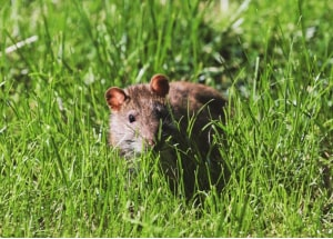 black rat hiding in grass