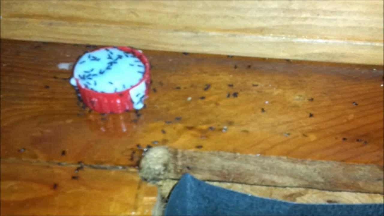 diy boric acid ant trap