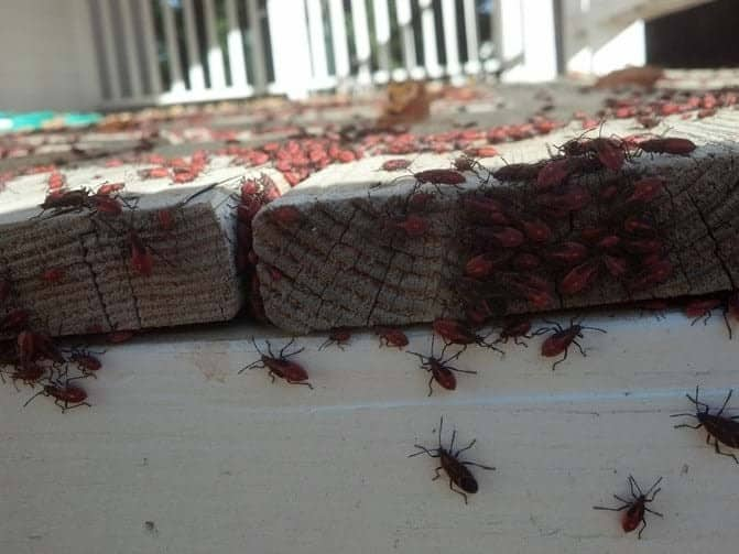 boxelder-bugs-on-building
