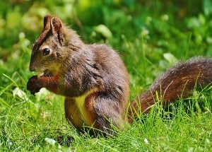 brown-squirrel-on-green-grass