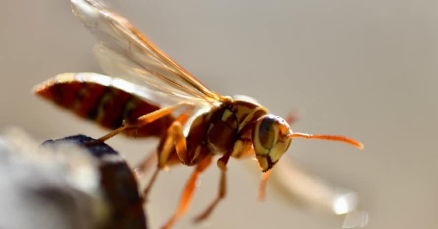 brown wasp close-up