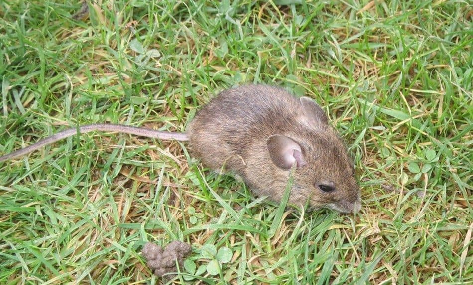 brown wood mouse sitting in the grass