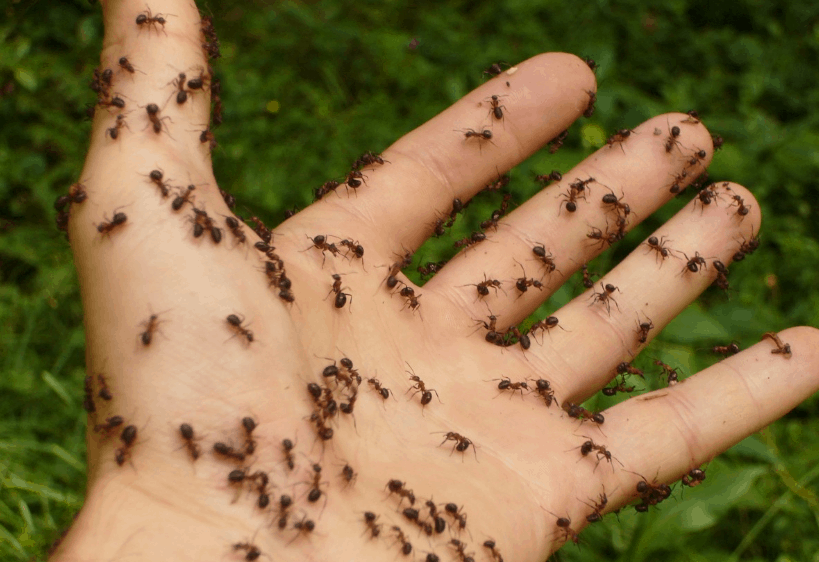 carpenter ants on a human hand