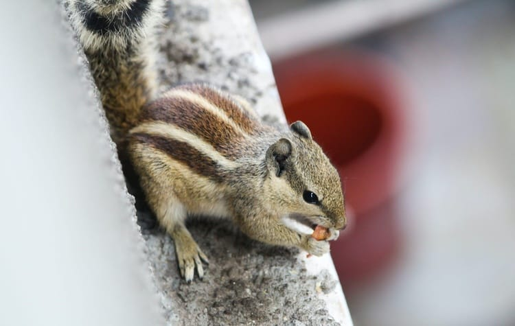 chipmunk eating a snack