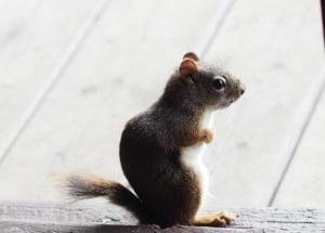 chipmunk standing