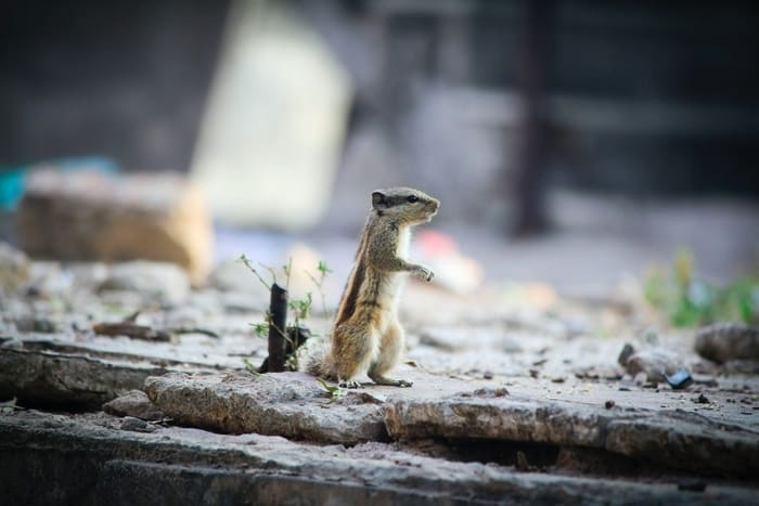 chipmunk standing up