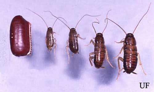 cockroach lifecycle