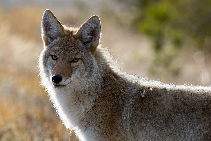 coyote-wildlife