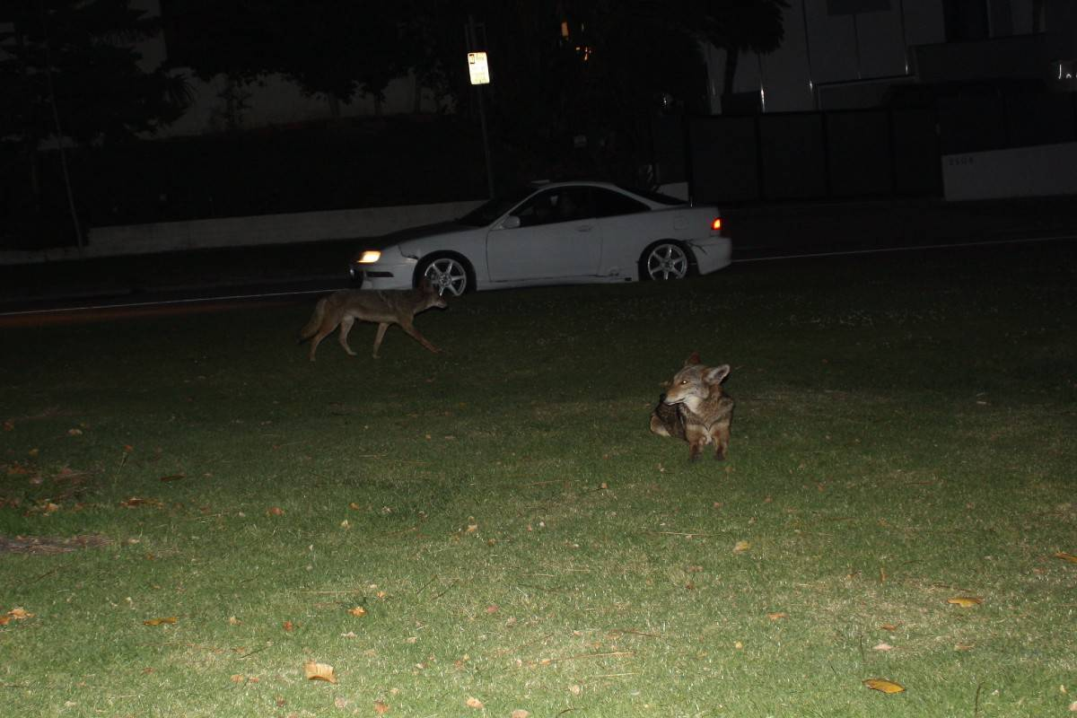 coyotes in a backyard