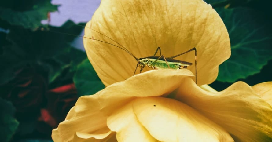 cricket on a flower