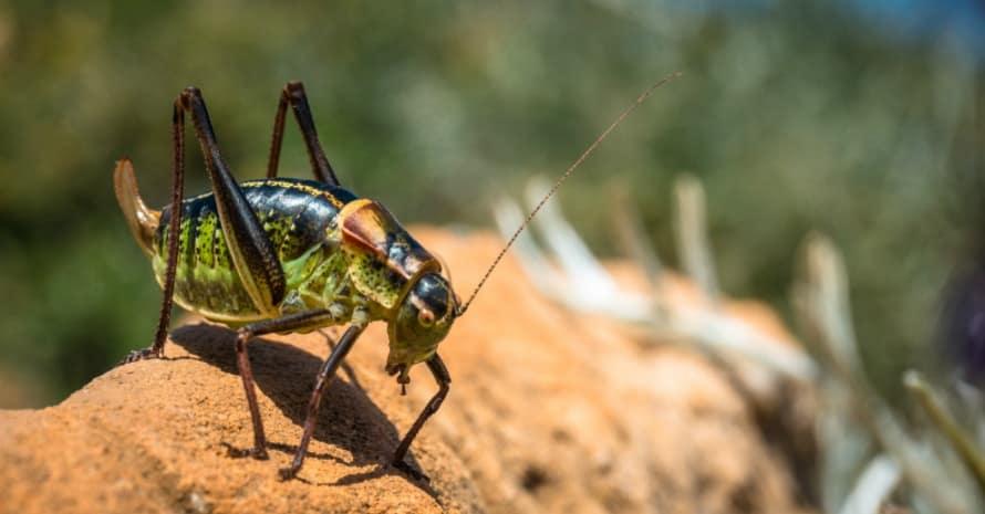 cricket on a stone