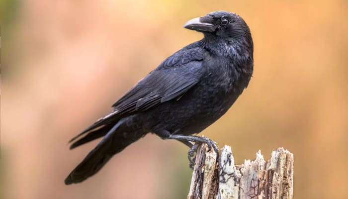 crow on a stump
