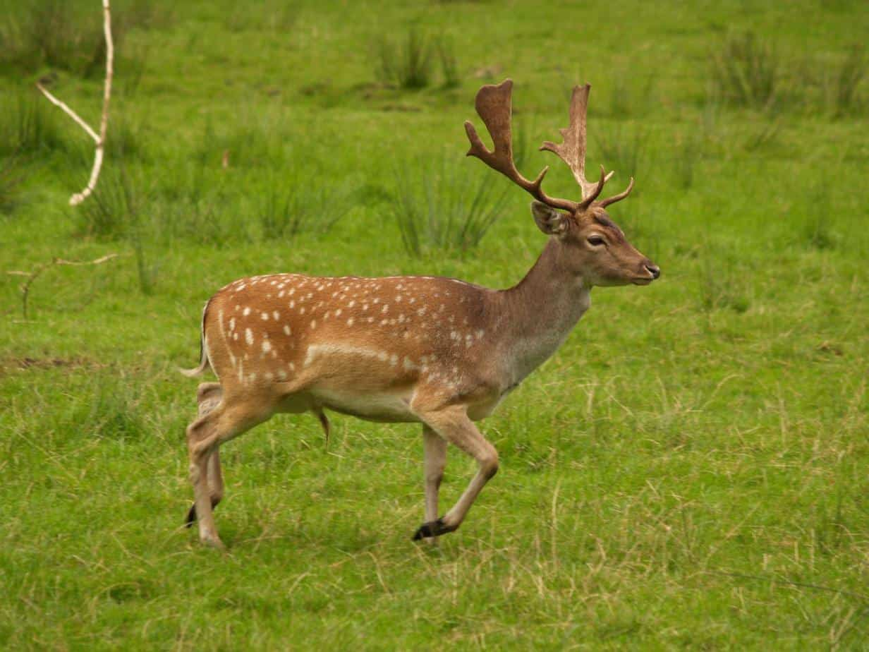 deer-in-field