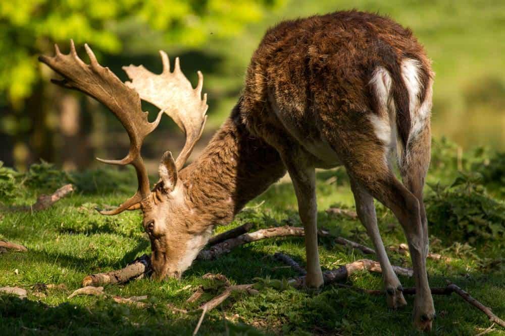 deer-in-sunlight