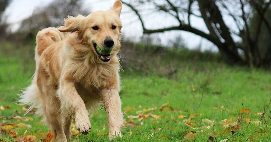 dog running with tennis ball
