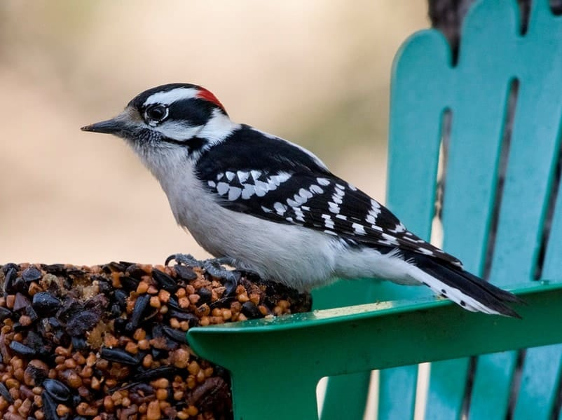 downy woodpecker eating and sitting on a fence